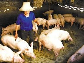 麦麸在养猪上的妙用