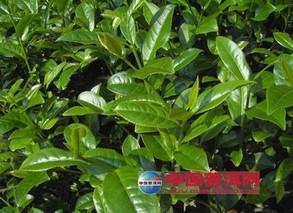 制作乌龙茶的茶树品种