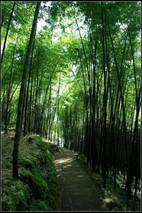 竹类常见虫害