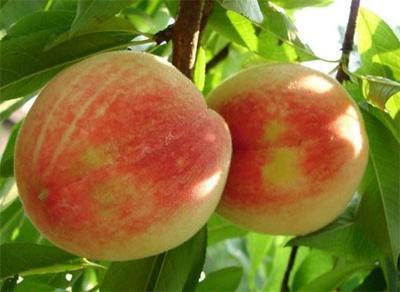 桃子裂果和缩果防治