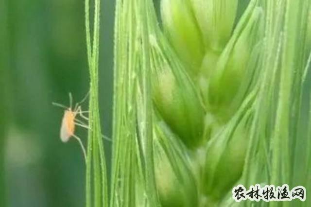小麦吸浆虫病