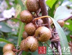 多花猕猴桃茎叶的功效与作用