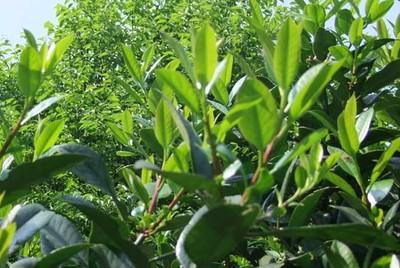 苦丁茶怎样种植?苦丁茶的种植技术
