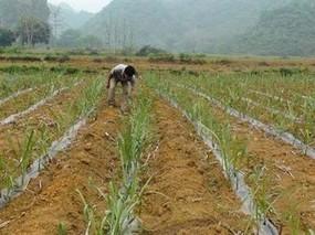 甘蔗几月种植?甘蔗种植方法步骤