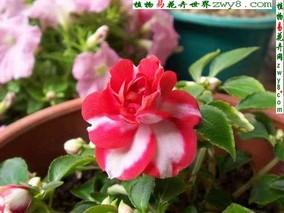 凤仙花疫病的防治方法