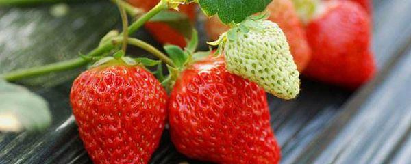 草莓种子几月份播种?家庭阳台草莓种植方法