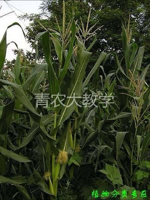 春油葵什么时候种植?油葵一年能种几次?