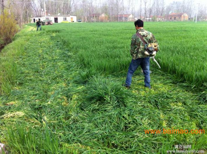 高丹草适合南方种植吗?高丹草什么时候种?