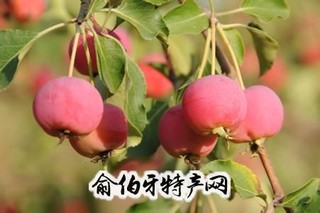河曲海红果