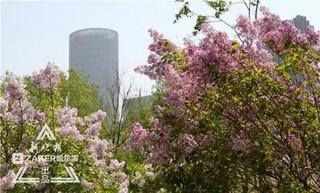哈尔滨新植七万暴马丁香 花期延至6月末