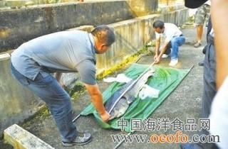 福建宁德:鲟鱼养殖红利不小
