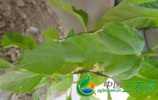 大棚温室蔬菜肥害的发生与防治