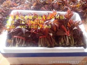 鸡爪杏塑料大棚栽培技术