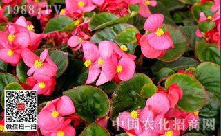 四季海棠遮阳养护