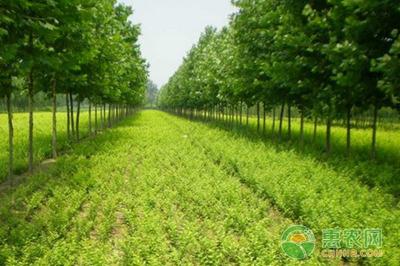 上高县敖山镇:特色苗木种植助农增收致富