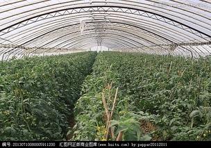 特色番茄的塑料大棚栽培