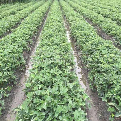 脱毒草莓大棚高产栽培技术