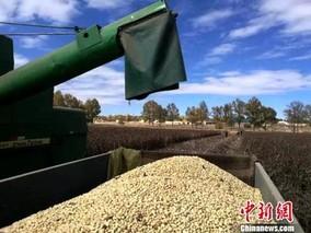 青海省蚕豆产业实现全程机械化