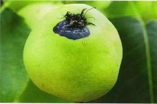今年梨树黄粉虫为何发生重