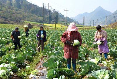 黔西县安作村:特色蔬菜种植促农增收