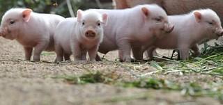 猪中毒了怎么办