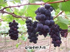 辽阳山葡萄