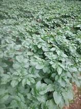 温州:平阳县高山旱粮基地首次试种马铃薯成功