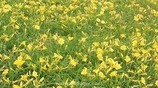 金娃娃萱草什么时候种植?金娃娃萱草种植方法