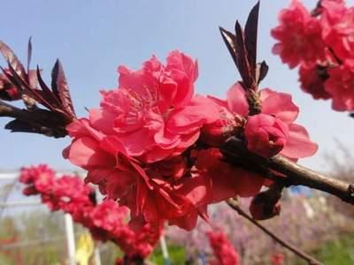 红叶碧桃是用什么嫁接的