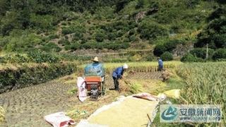 脱粒机助力水稻收割