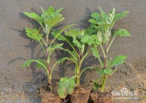 菊花苗怎样种植