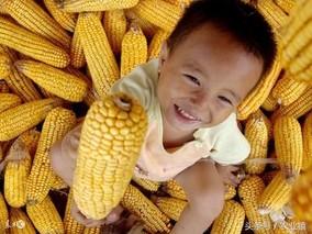 菜用玉米早熟丰产技术
