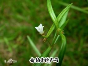东乡白花蛇舌草