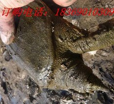 孝感应城支持稻鳖生态养殖
