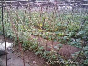 春季广东节瓜种植