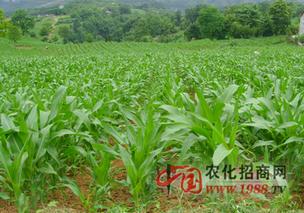 秋玉米播种出苗后能否用矮壮素