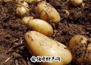 四子王旗土豆
