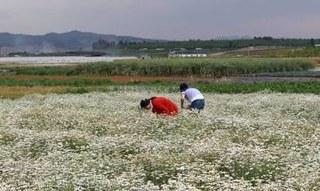 华中农大*揭示美丽除虫菊防御害虫的新机制