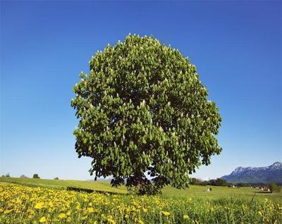 七叶树怎么养护