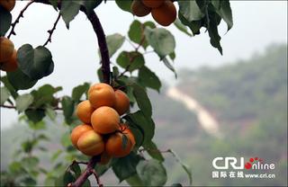 北京平谷北寨红杏开摘!