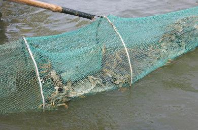 河蟹的捕捞
