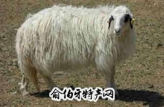 滩羊二毛皮