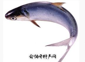 大伙房水库鳙鱼