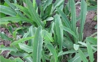 鲜蒲公英败酱草的功效与作用