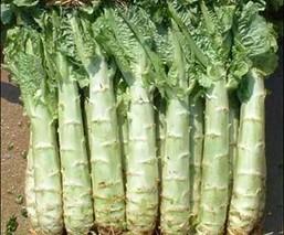 无公害莴苣属的催芽方法