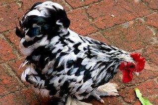 丝光鸡饲养的注意要点