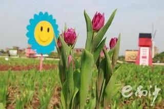 广州即将举办郁金香品种展示会