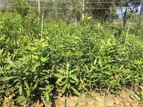 云南种植澳洲坚果227万亩