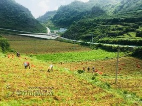 贵州七星关区:冬种马铃薯 科技助丰产