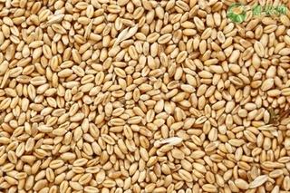 近期小麦价格还会上涨吗?小麦最新价格多少钱一斤?